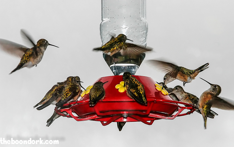 Colorado hummingbirds feeding