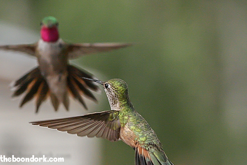 Male and female Ruby throat hummingbird