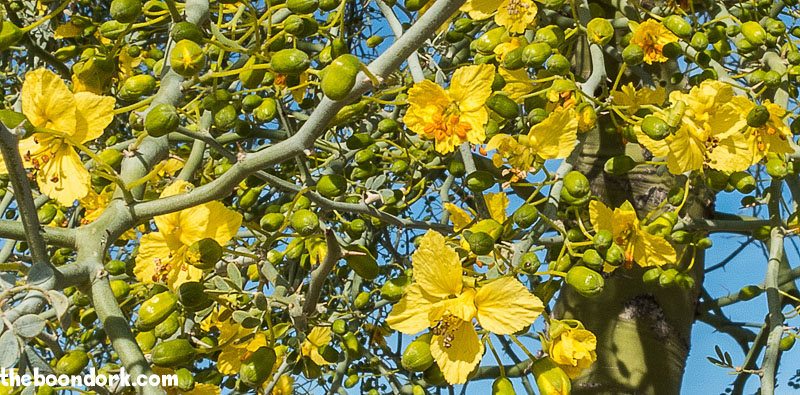 Palo Verde tree blossoms Ben Avery's campground