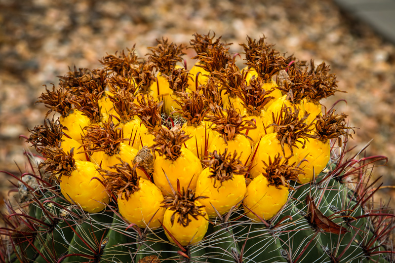 Barrel cactus fruit Tucson Arizona