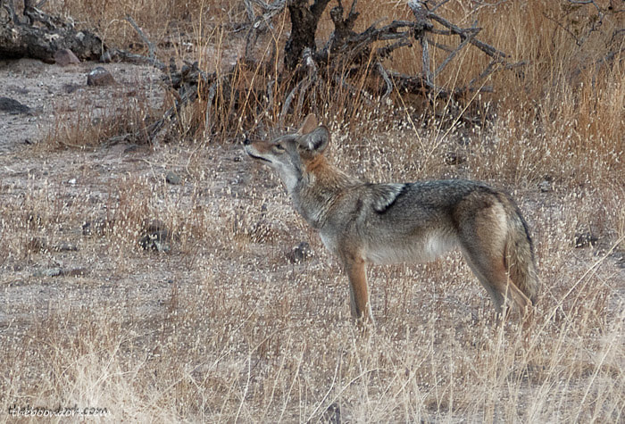 Arizona coyote