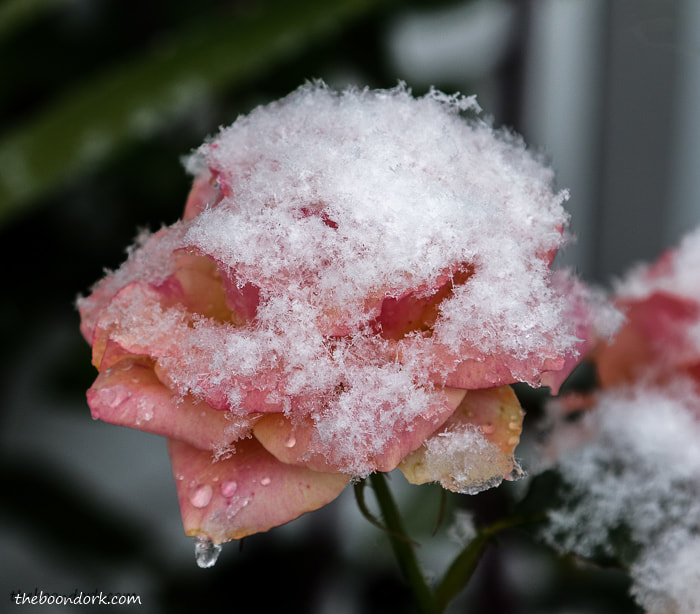 A rose in the snow