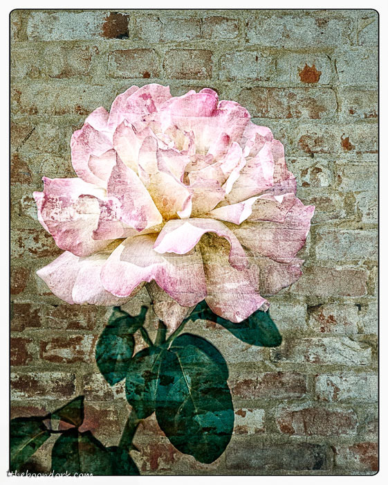 A rose on the wall