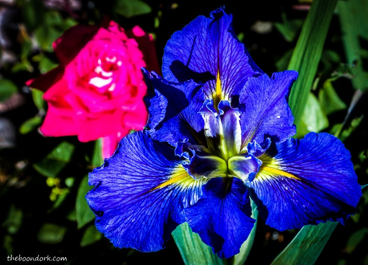 Blue Iris flower in Denver