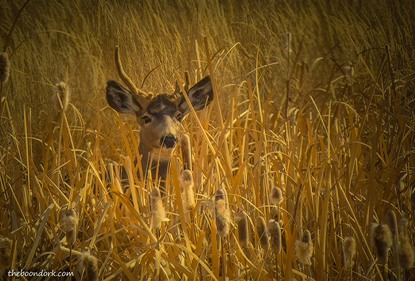 Whitetail deer Alamosa Colorado Picture