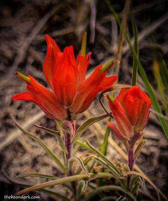 Apache paintbrush Colorado mountains  Picture