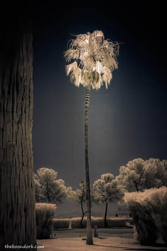 Infrared palm tree Tucson Arizona  Picture