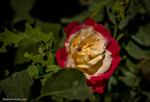 Bicolor Rose Tucson Arizona Picture