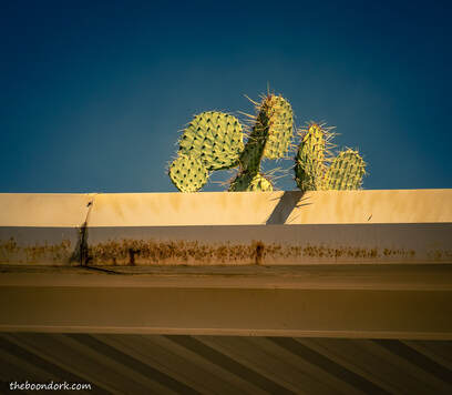 Prickly Pear cactus Tucson Arizona  Picture