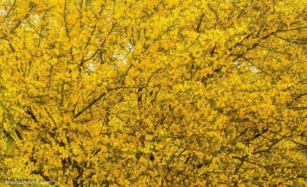 tree covered in yellow flowers Tucson ArizonaPicture