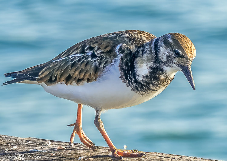 Padre island Texas shorebird