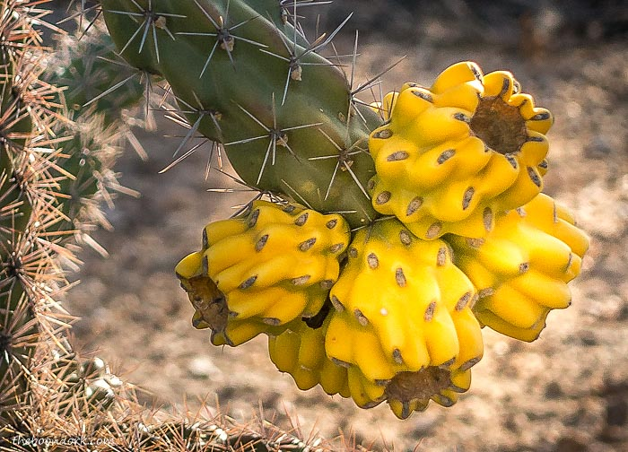 Fruit of the Cholla cactus